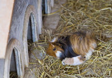 6587 guinea pig shoulder Royaltyfria Foton