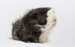 6587 guinea pig shoulder Arkivbilder