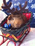 6587 guinea pig shoulder Στοκ εικόνες με δικαίωμα ελεύθερης χρήσης