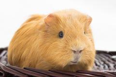 6587 guinea pig shoulder Royaltyfri Fotografi