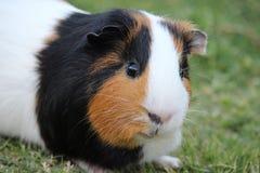 6587 guinea pig shoulder Στοκ φωτογραφίες με δικαίωμα ελεύθερης χρήσης