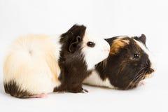 6587 guinea pig shoulder 免版税库存照片