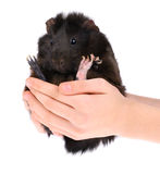 6587 guinea pig shoulder Arkivbild
