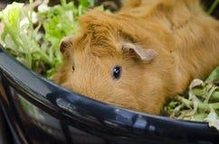 6587 guinea pig shoulder Στοκ Φωτογραφία