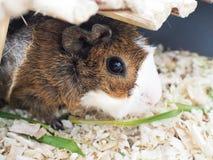 6587 guinea pig shoulder 免版税库存图片