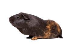 6587 guinea pig shoulder Στοκ Φωτογραφίες