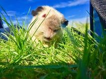 6587 guinea pig shoulder 免版税图库摄影