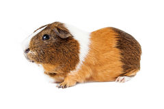 Guinea Pig Side View on White Stock Images