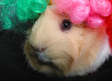 Guinea pig with silly clown wig. Guinea pig with wig stock photos