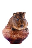 The guinea pig sits in a clay pot Royalty Free Stock Photos
