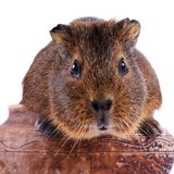 The guinea pig sits in a clay pot Royalty Free Stock Images