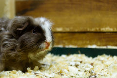 Guinea pig sits in sawdust. Guinea pig gray colour sits in sawdust Royalty Free Stock Photo