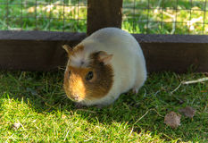 Guinea pig sitting in a cage Stock Images