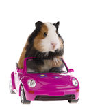 Guinea pig sitting in a car