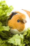 Guinea pig is sitting between endive leafs Stock Images