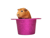 Guinea pig sitting in hat Stock Photo