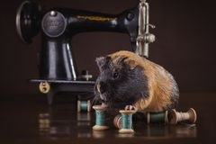 Guinea pig sitting on a sewing machine Royalty Free Stock Photography