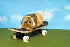 Guinea Pig on a Skate Board Stock Images