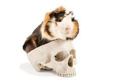 Guinea pig on the skull Royalty Free Stock Image