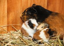 Guinea pig with small piglets stock images