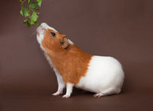 Guinea-pig is smelling verdure. On the brown bachground Stock Photo