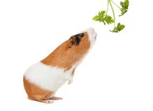 Guinea-pig is smelling verdure. On the white background Royalty Free Stock Images