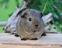 Guinea Pig, Smooth Hair Royalty Free Stock Photography