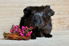 Guinea Pig, Smooth Hair Stock Photography