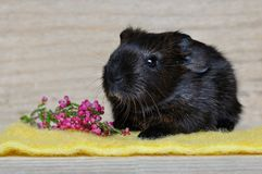 Guinea Pig, Smooth Hair Royalty Free Stock Image