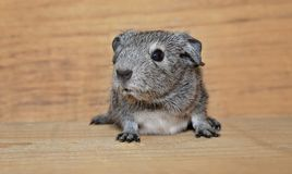 Guinea Pig, Smooth Hair Stock Images
