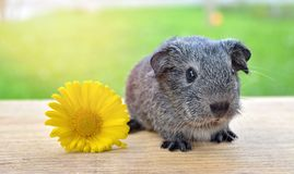 Guinea Pig, Smooth Hair, Silver Royalty Free Stock Image