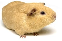 Guinea pig sniffing Royalty Free Stock Images