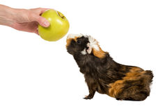 Guinea pig sniffing an apple Stock Photography