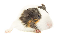 Guinea pig sniffing Stock Photography