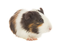 Guinea pig sniffing Royalty Free Stock Photos
