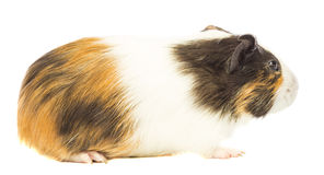 Guinea pig sniffing Royalty Free Stock Photo