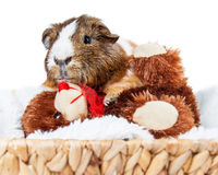 Guinea Pig Snuggling With Teddy Bear Stock Photo