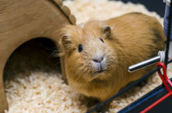 Guinea pig stand next to wooden house Royalty Free Stock Photo