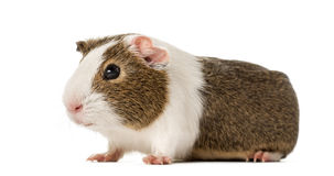 Guinea pig standing , isolated Stock Photos