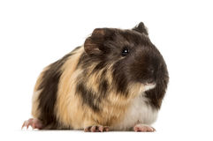 Guinea pig standing , isolated Royalty Free Stock Photo