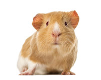 Guinea pig standing , royalty free stock images