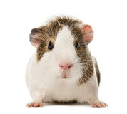 Guinea pig standing , stock images