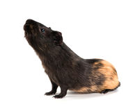 Guinea pig stands on its hind legs (ramps). Isolated on white background Stock Image