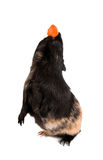 Guinea pig stands on its hind legs (ramps). Stock Images