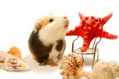Guinea-pig and starfish Royalty Free Stock Photography