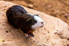 Guinea pig on stone Stock Photos