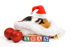 Guinea pig surrounded by christmas attributes. Isolated on white royalty free stock photo