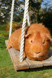 Red Guinea Pig on a Swing. Red short haired guinea pig outdoors on a wooden swing royalty free stock photo