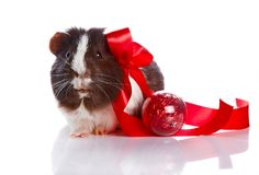 Guinea pig with a tape and a sphere Stock Photography