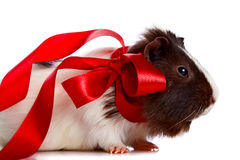 Guinea pig with a tape and a sphere Stock Photo